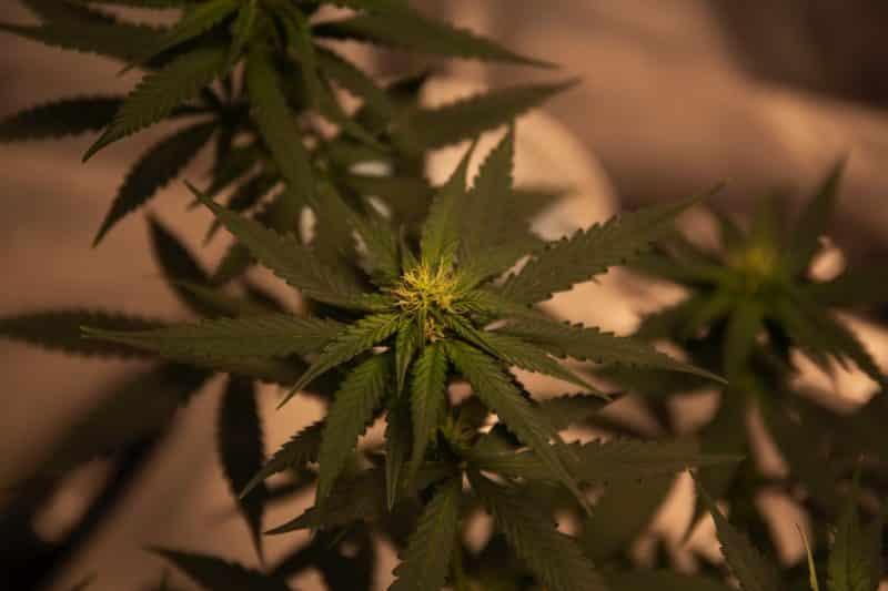 cultivar CBD en España